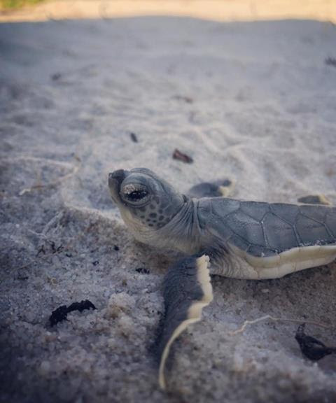 Sea Turtle hatchling heading out to see on Fort Lauderdale Beach